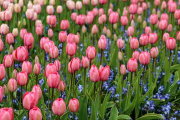 Papiers peints Rose banbon champs de tulipes roses