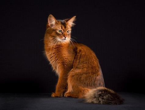 Purebred Somali cat