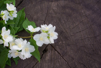 Sprig of flowering jasmine on a background of an old tree stump
