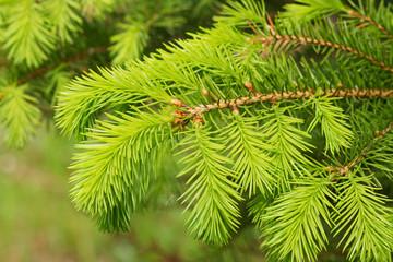 Fresh twigs of the pine tree.