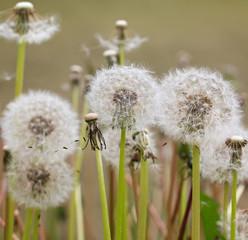 Fluffy dandelions.