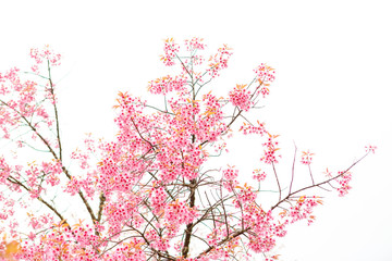 Wild Himalayan Cherry spring blossom