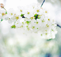 Focus on the branch of an apple tree