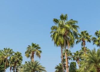 Many palm trees with blue sky
