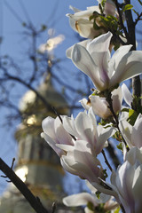 background . the church and blooming magnolia