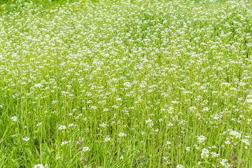 Green spring lawn with wild flowers