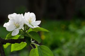 white apple blossom in the garden