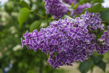 Bunch of purple lilacs on green background macro photography