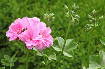 Géranium lierre rose