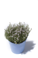 Thyme in blue bucket isolated on white background