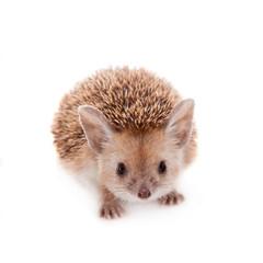 Long-eared hedgehog on white