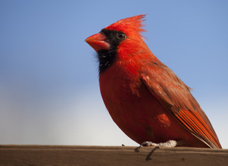 Male cardinal with sky behind
