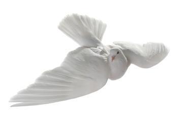 white pigeon
