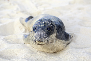 Seal pup having rest on the Hermosa beach