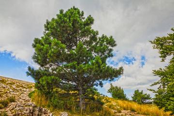Natural landscape - pine trees. Mountain Ai-Petri, Crimea, Russi