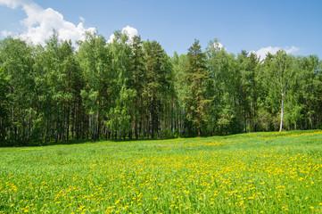 поляна с одуванчиками и лесом - fototapety na wymiar