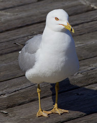 The gull close-up