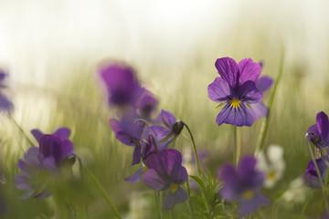 Blooming heartseases, Viola tricolor