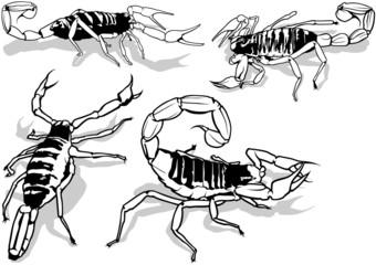 Desert Hairy Scorpion (Hadrurus Arizonensis)