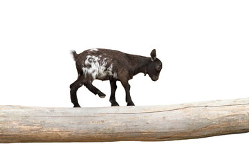 young goat  showing equilibrium on a clog