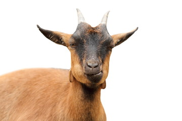 isolated closeup of brown goat