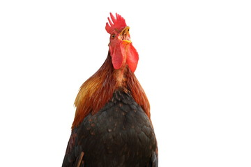 isolated colorful rooster singing