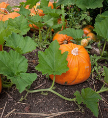Pumpkin plant with ripe pumpkins