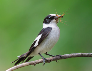 Collared flycatcher with insect prey