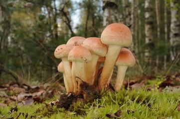 Hypholoma lateritium fungus