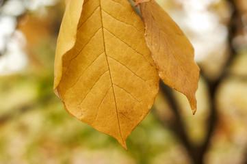 Autumn magnolia leaves