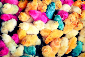Colourful painted chicks