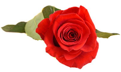 Red rose flower, close up, isolated, white background