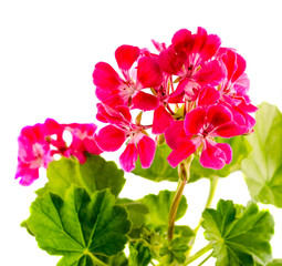 Red Geranium flower, close up, isolated