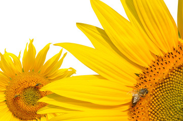 Honey bee on a sunflowers on white background