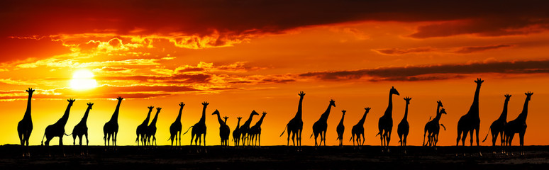 Giraffes silhouettes at sunset