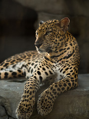 leopard panther