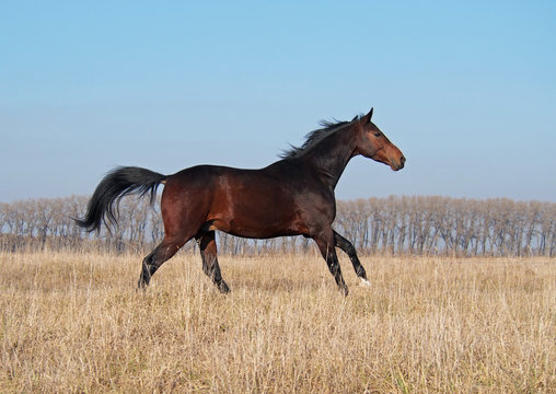 The elegant young bay stallion gallops on the field