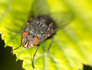 fly on a green leaf. close