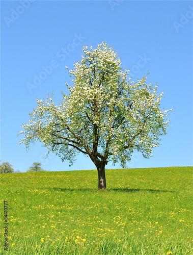 bl hender birnbaum auf blumenwiese stockfotos und lizenzfreie bilder auf bild. Black Bedroom Furniture Sets. Home Design Ideas