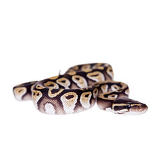 Royal Python, or Ball Python on white