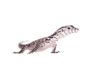 Timor Monitor Lizard, Varanus timorensis, on white
