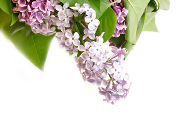blooming lilac tree branch selective focus soft blur toned photo spring flower