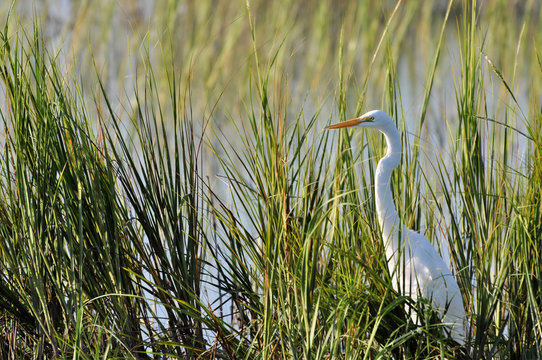 Great egret, or common egret, hunting in reeds at Huntington Beach, South Carolina