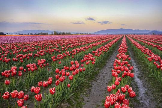 Skagit tulips field