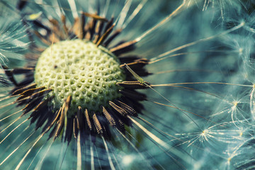 Dandelion with abstract background. Dandelion flower in detail