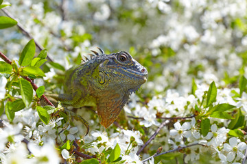 Iguana on the branches of cherry tree