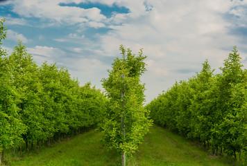 Piante e frutto di mele