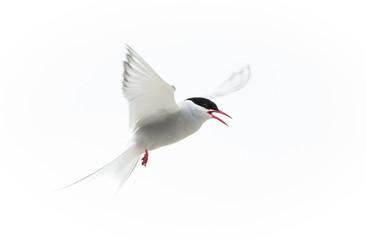 Arctic Tern (Sterna paradisaea) Fototapete