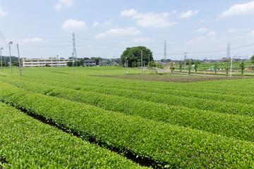 茶畑(埼玉県狭山丘陵)