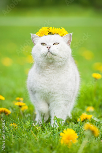 White British Shorthair Cat Wearing A Crown Of Flowers